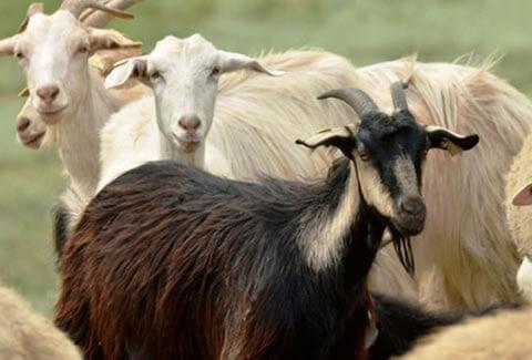 adaklık keçi (1)